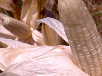 World Food Prize Worthy: Corn