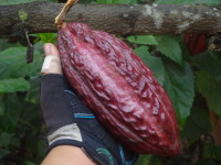 Ecuador Part II: Cacao and the Chocolate Process
